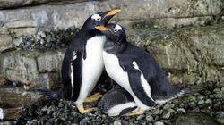 同性カップルのペンギン、ママになる。スペインの水族館で、飼育員が機転