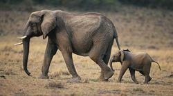 Ζωολογικός κήπος δίνει κάνναβη σε στρεσαρισμένους ελέφαντες - Και φαίνεται να τους