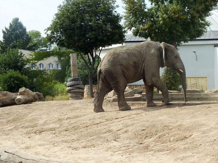 바르샤바 동물원의 코끼리. 사회성이 강한 코끼리는 무리의 우두머리가 죽었을 때 가장 큰 충격을 겪는다.