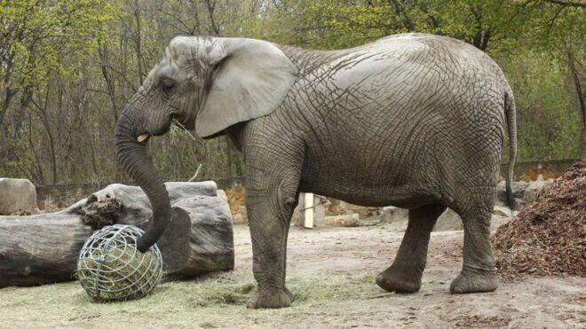 대마 추출유 처방을 받을 첫 대상인 바르샤바 동물원의 코끼리 프레지아. 우두머리가 죽은 뒤 큰 정신적 충격에 시달리고 있다.