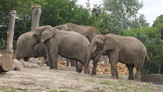 우두머리가 죽기 전 4마리로 이뤄진 바르샤바 동물원 코끼리 무리. 사회성을 위해 적어도 6마리로 무리를 이뤄야 한다고 국제 동물원 기구는 권장한다.