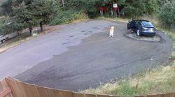 Adottato il labrador abbandonato dalla padrona nel bosco: il video in cui viene lasciato