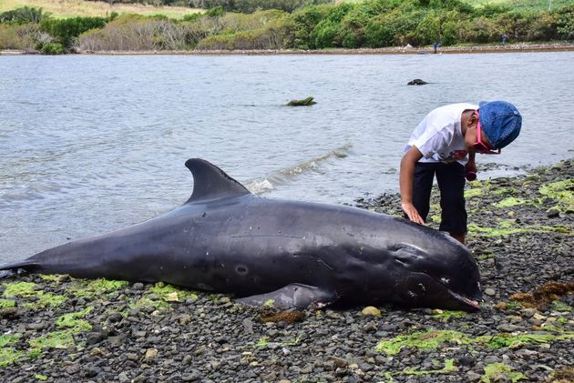 A boy touches the carcass of melon-headed whale -- a member of the dolphin family -- at the beach in...