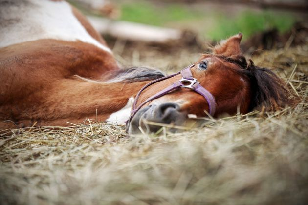 Horse resting in the hay on the