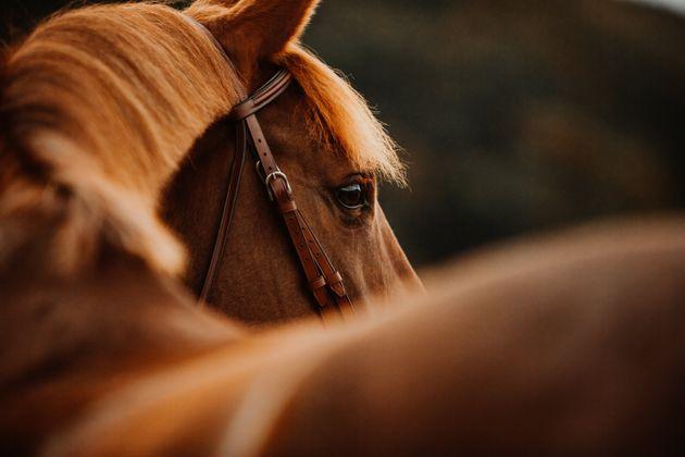 Un nouveau cheval découvert mutilé, cette fois à Istres (photo