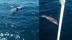 Una madre delfín lucha por salvar a su cría en la contaminada laguna de