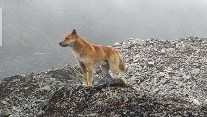 세계에서 가장 오랜 개, 가장 희귀한 개로 꼽히는 뉴기니 고원 야생 개의 모습. 노래하는 개의 야생 원종임이 밝혀졌다.