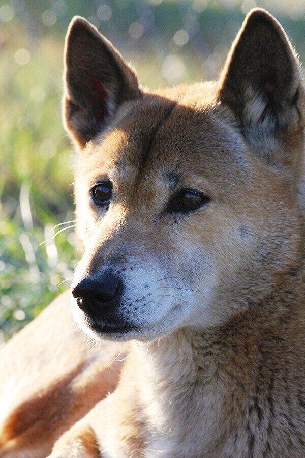 미국 노스캐롤라이나 보호센터에 있는 노래하는 개.