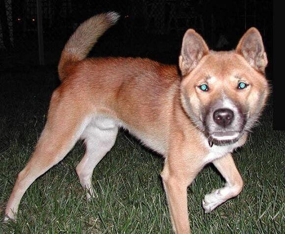뉴기니 노래하는 개는 딩고보다 몸집이 약간 작지만 유연해 나무를 타고 외톨이 생활을 한다.