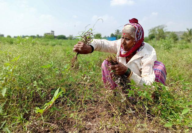 A farmer harvests damaged soybean crops at Kalamb village in Pune district of Maharashtra on November...