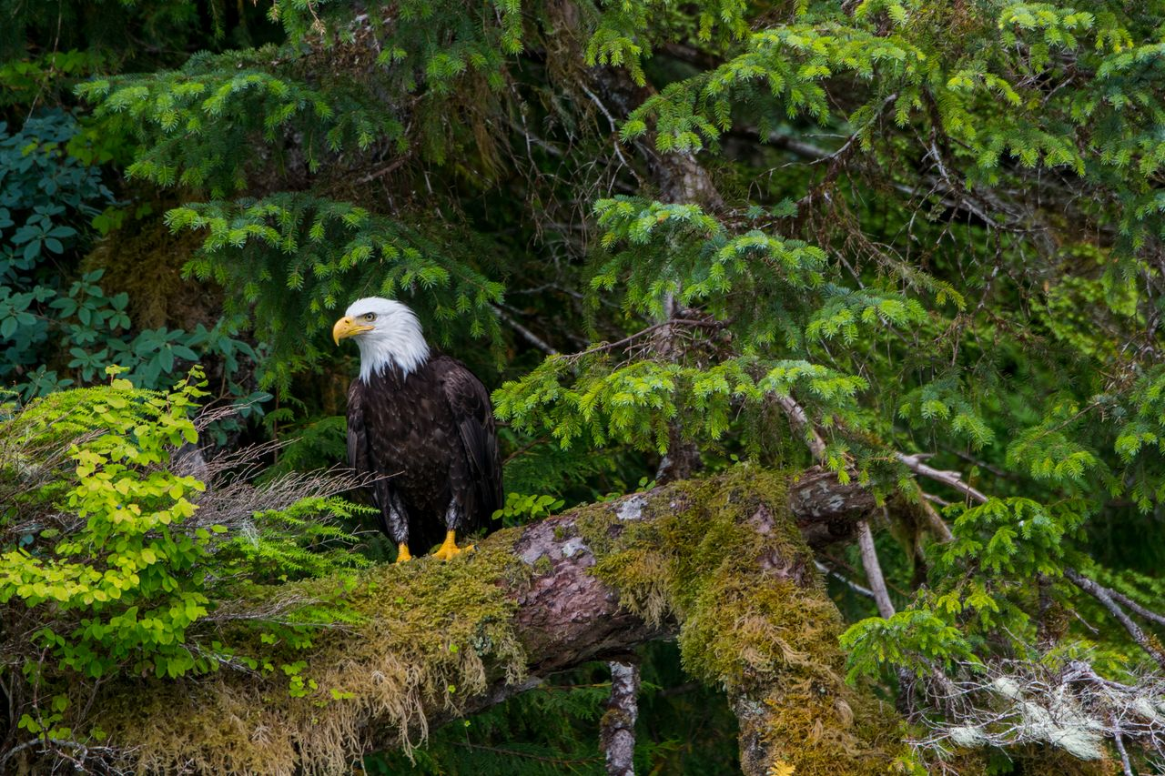 A bald eagle on a moss-covered tree in the forest along the shoreline of Takatz Bay. The forest hosts the largest known concentration of these birds.