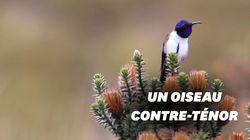 Ce colibri produit le son le plus aigu enregistré pour un