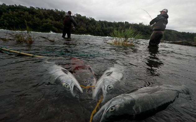 Sockeye salmon are tethered to the shore along the fast-moving current of the rapids on the Newhalen...