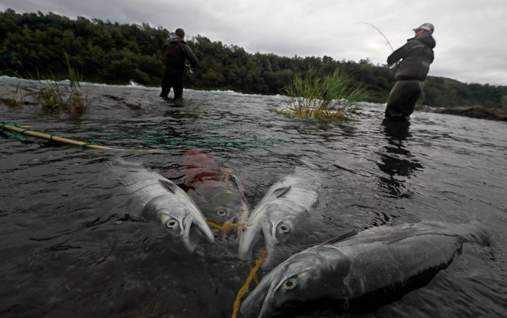 Sockeye salmon are tethered to the shore along the fast-moving current of the rapids on the Newhalen River near Iliamna in Al