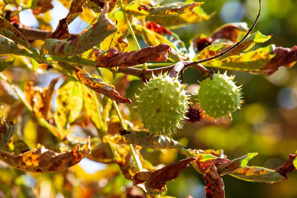 Chestnuts are another autumn highlight