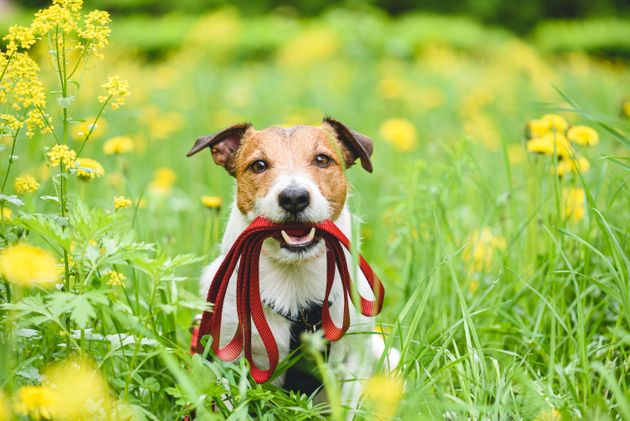 Jack Russell Terrier dog with red