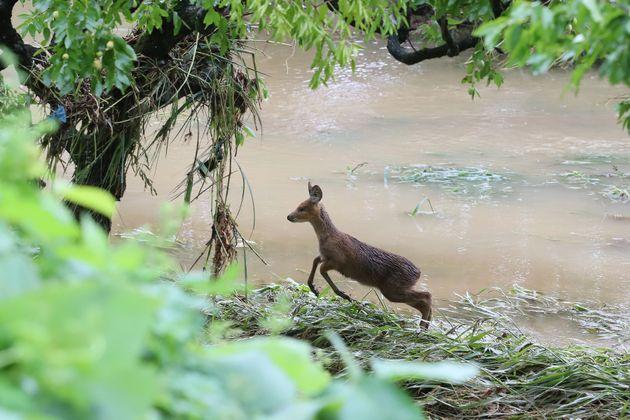 7일 오후 제10호 태풍 하이선이 폭우를 뿌리고 지나간 경북 청도군 매전면 하천에서 어린 고라니 한 마리가 풀을 뜯다 인기척에 놀라 달아나고 있다. 마을 주민은 야산에서 불어난 물에...