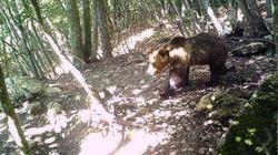 Fine della fuga per l'orso M49: catturato dopo 42 giorni di