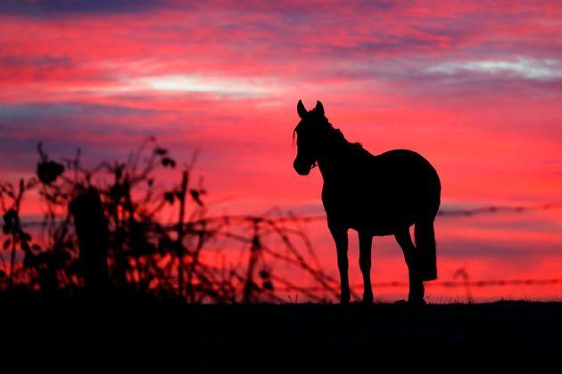 Depuis plusieurs semaines, les mutilations contre des chevaux et des équidés se multiplient...