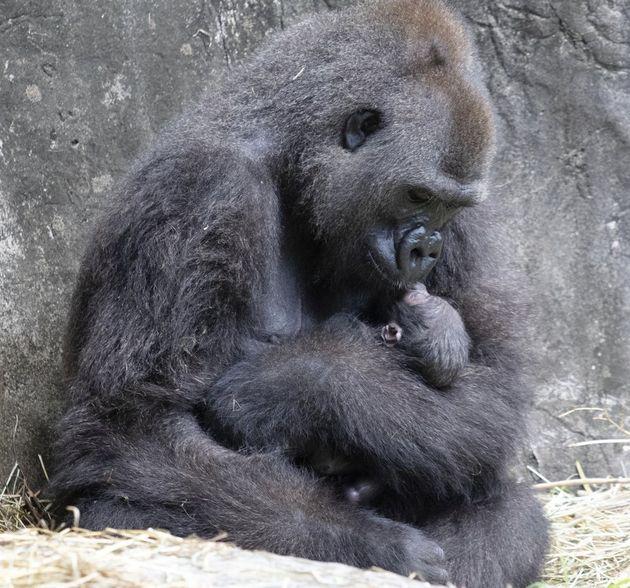 멸종위기에 처한 웨스턴 로우랜드 고릴라 투마니는 2020년 9월 4일 금요일 뉴올리언스에서 출산 후 태어난 아기를 안고
