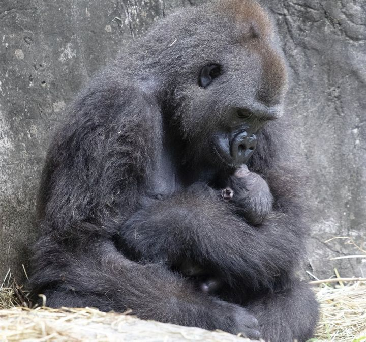 Tumani, a critically endangered western lowland gorilla holds her newborn at an enclosure at the Audubon Zoo, following its b
