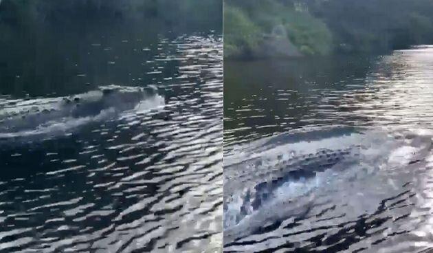 イルカか?いや、巨大ワニだ。猛スピードで泳ぐ衝撃動画が撮影される。