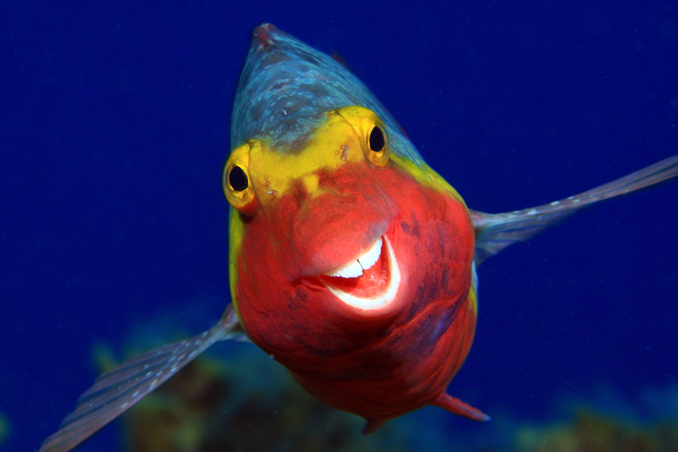 """Smiley"" is an image of a Sparisoma cretense in El Hierro, Canary Islands."
