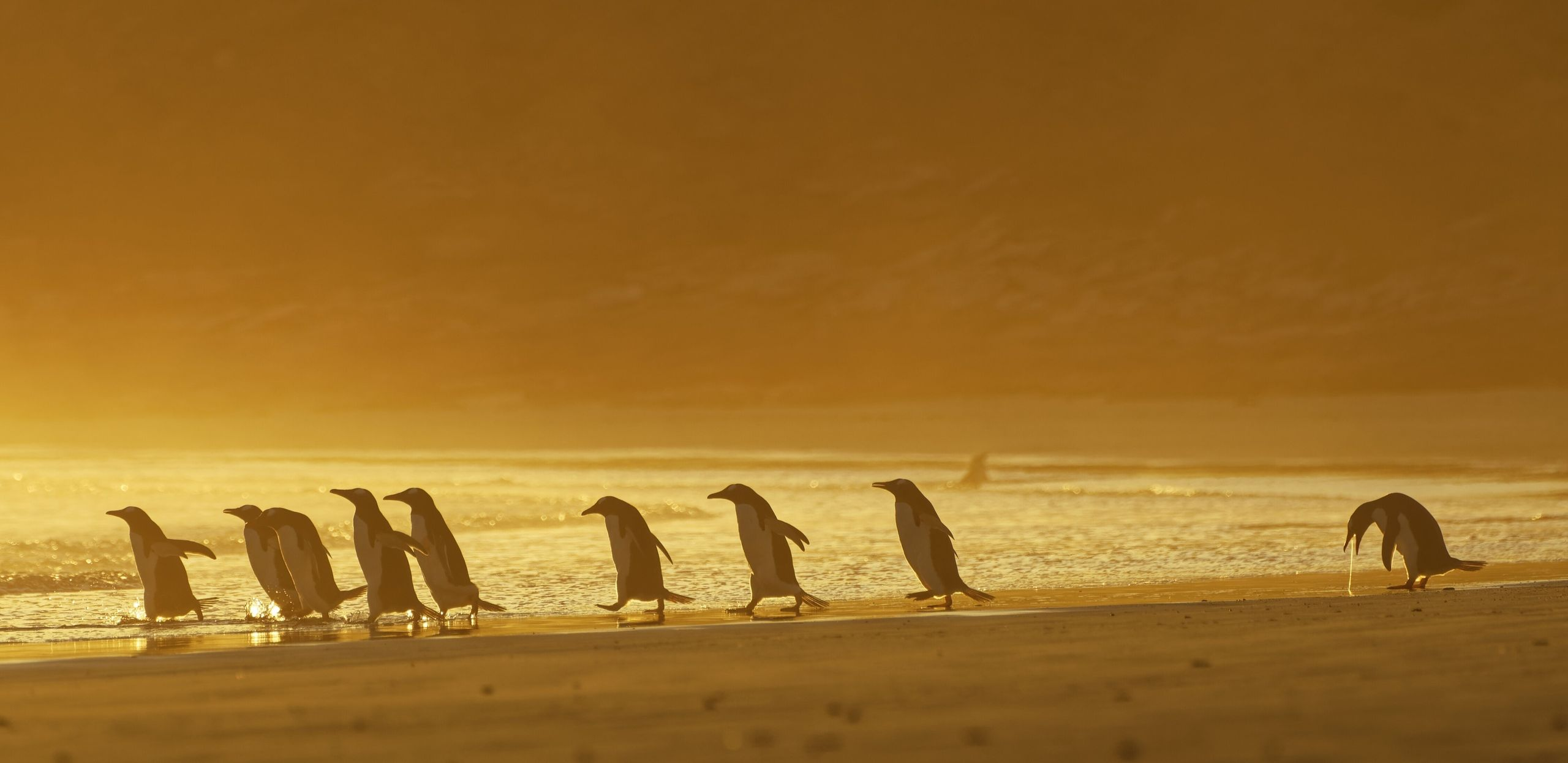 """I Could Puke"" shows a group of gentoo penguins in the Falkland Islands at sunrise."