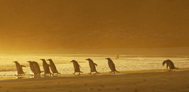 """I Could Puke"" shows a group of gentoo penguins in the Falkland Islands at sunrise."