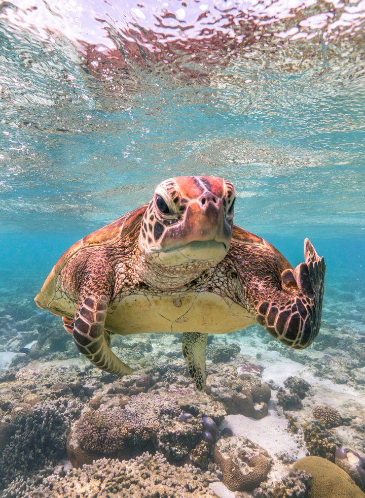 """Terry the Turtle Flipping the Bird"" was taken in Lady Elliot Island in Queensland, Australia."