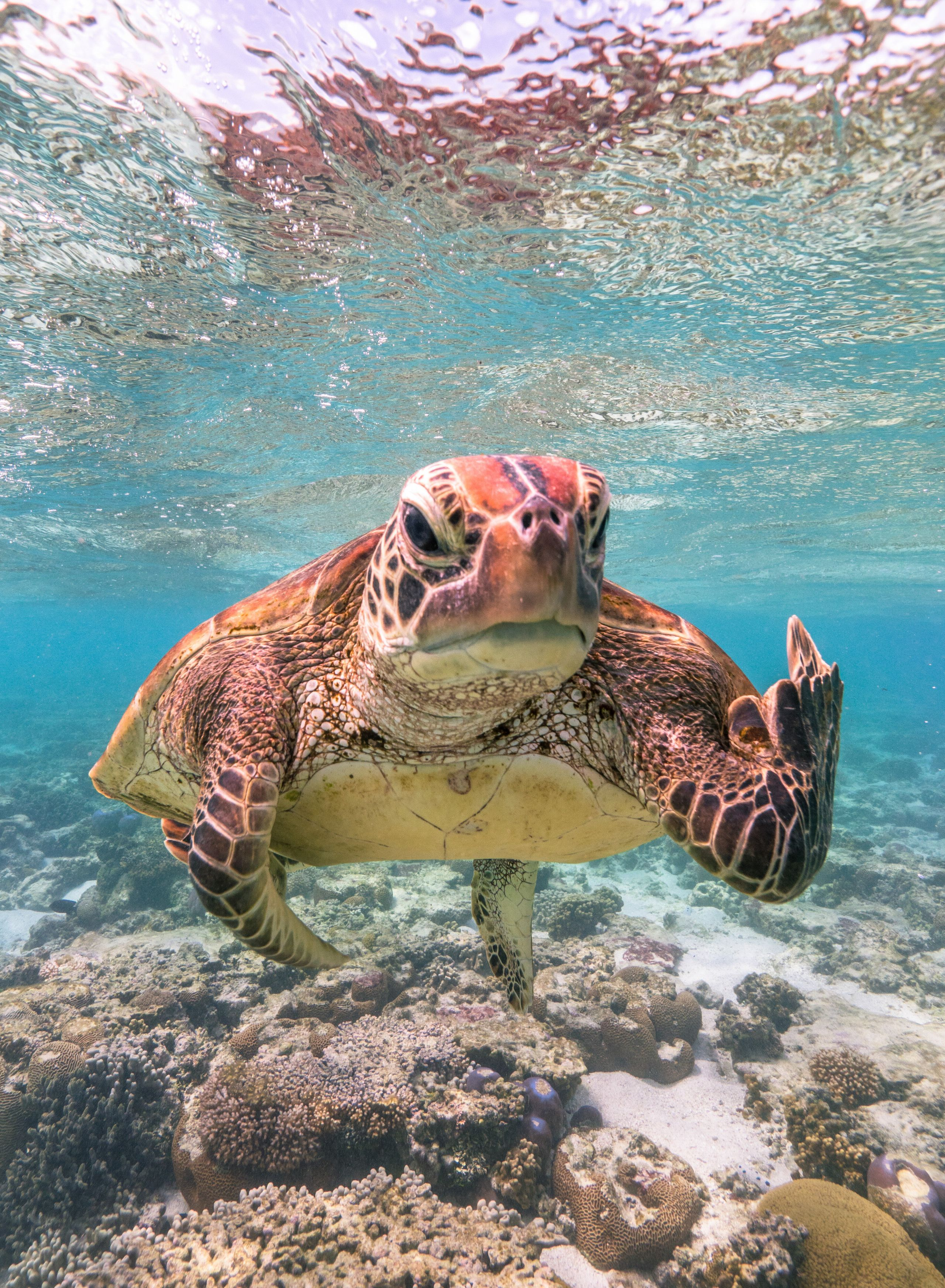 """Terry the Turtle Flipping the Bird"" was taken in Lady Elliot Island in Queensland, Australia."