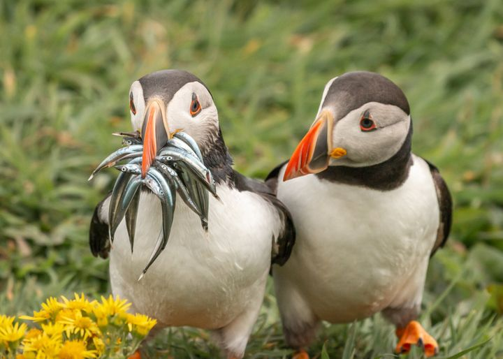 """""""Seriously, Would You Share Some"""" is a photo of puffins in Scotland."""