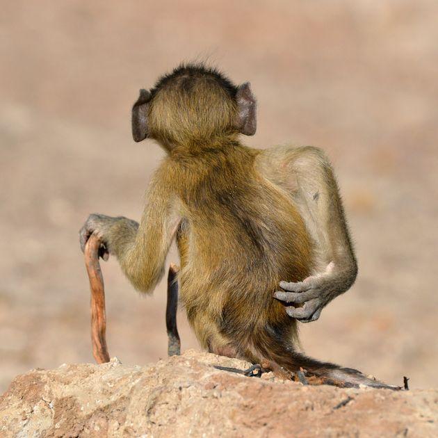 제목 : 긁적긁적 / 보츠와나, 개코원숭이