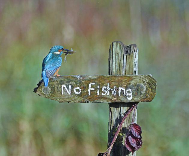 제목 : 낚시 금지를 비웃는 새 / 영국 커쿠브리, 킹피셔