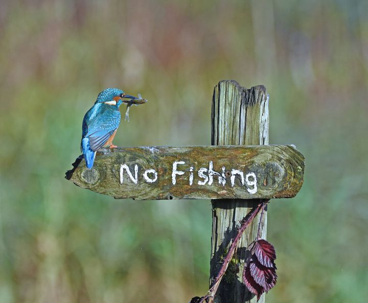 """""""It's a Mocking Bird"""" is an image of a kingfisher that was taken in Kirkcudbright, United Kingdom."""