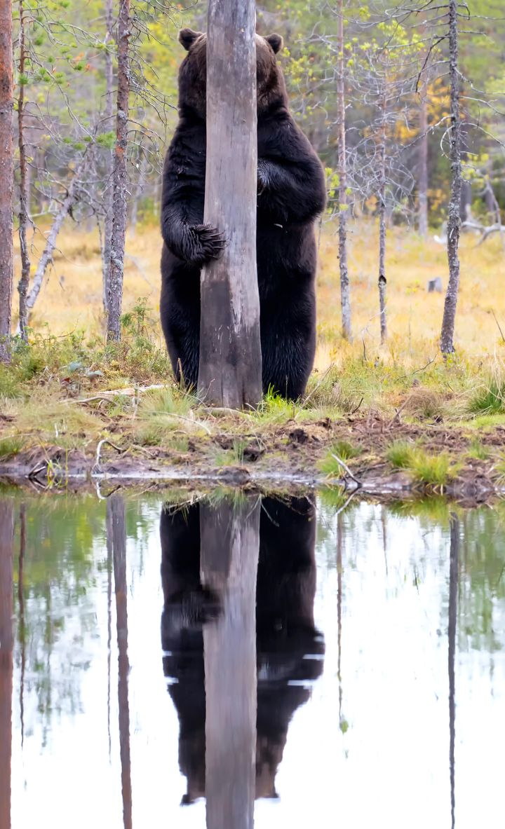 """""""Doggo"""" features a brown bear in Kuhmo, East Finland."""