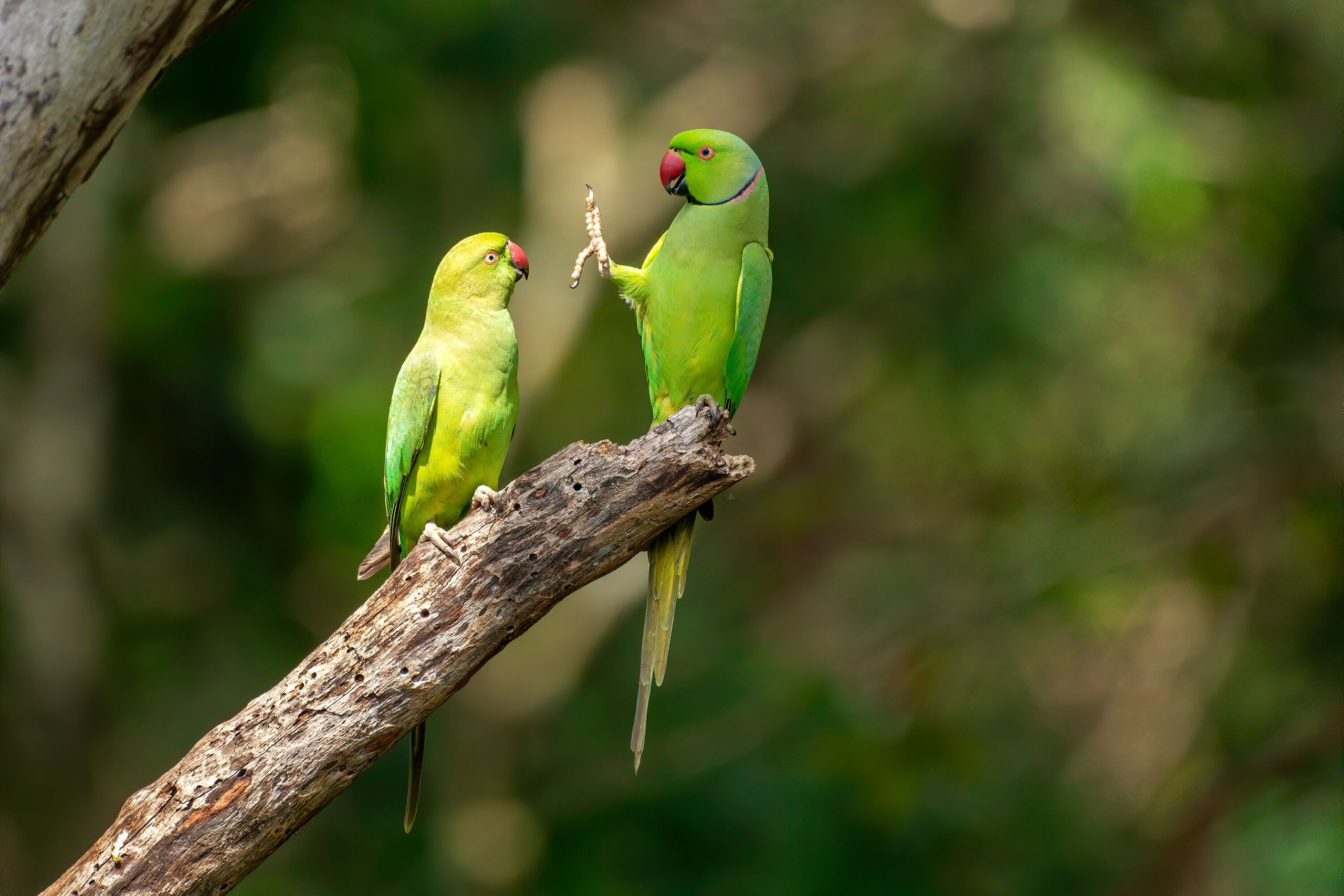 """Social Distance, Please!"" features rose-ringed parakeets at Kaudulla National Park in Sri Lanka."