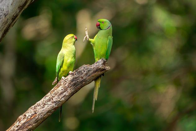 제목 : 제발! 사회적 거리두기! (Social Distance, Please!) / 스리랑카 카우둘라 국립공원, 장미반지 잉꼬