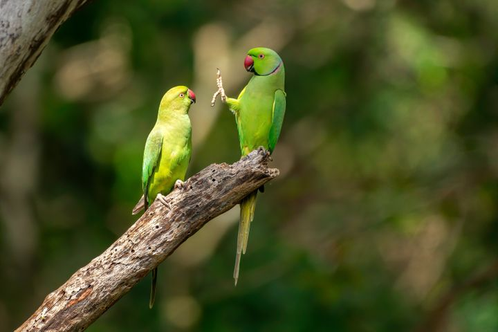 """""""Social Distance, Please!"""" features rose-ringed parakeets at Kaudulla National Park in Sri Lanka."""