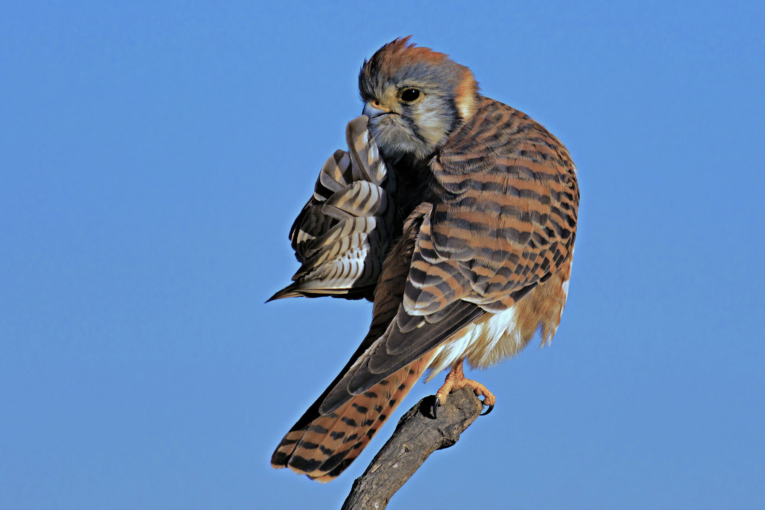 """Quiet Please"" is a picture of a kestrel in Huntington Beach, California."