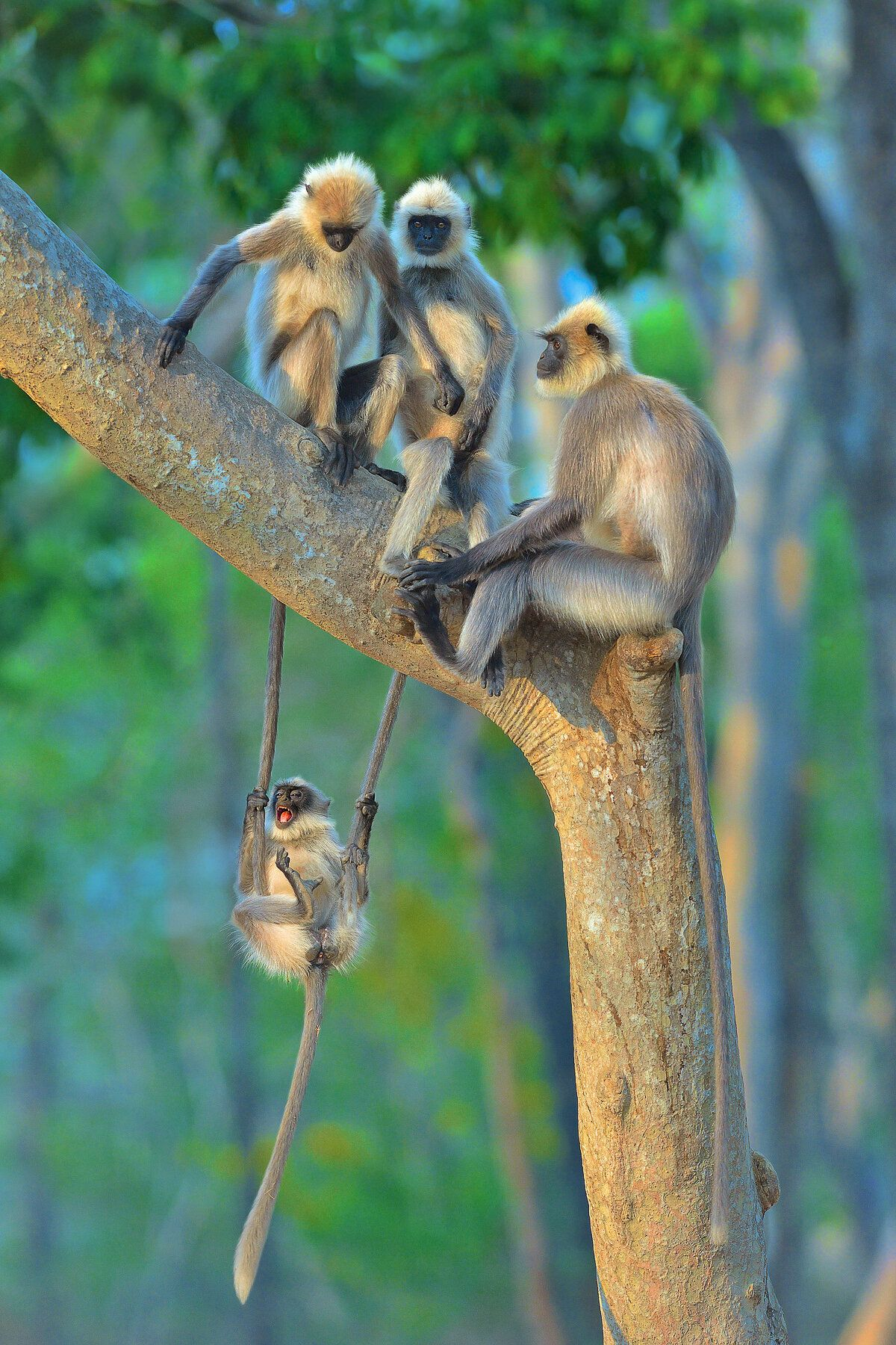 """Fun For All Ages"" features langurs in Kabini, India."