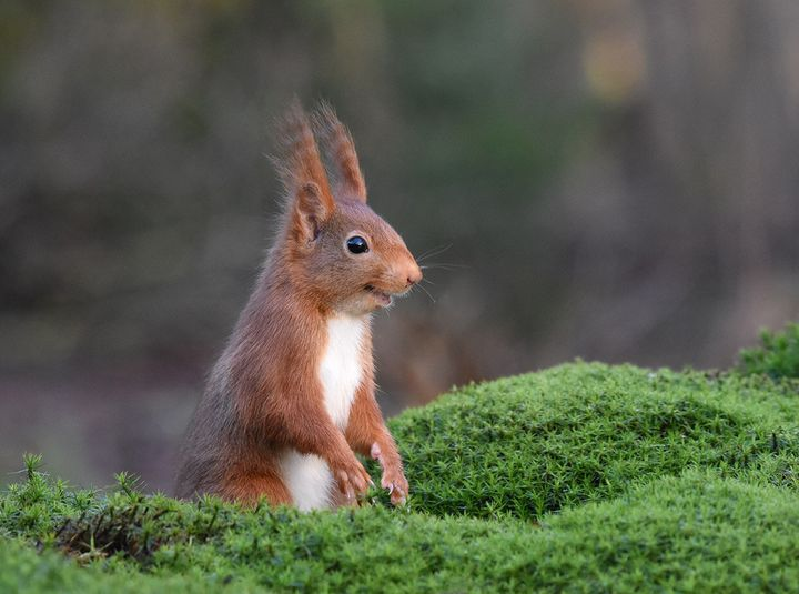 """""""The Inside Joke"""" is a picture of a Eurasian red squirrel in Espelo, Netherlands."""