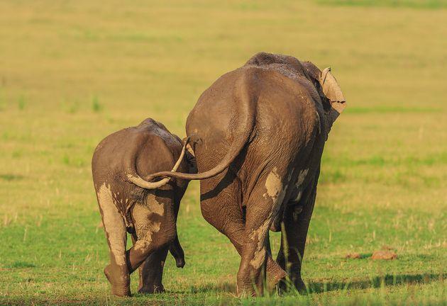 제목 : 엄마나 딸이나 (Like Mother Like Daughter) /인도 코벳 국립공원, 아시아 코끼리