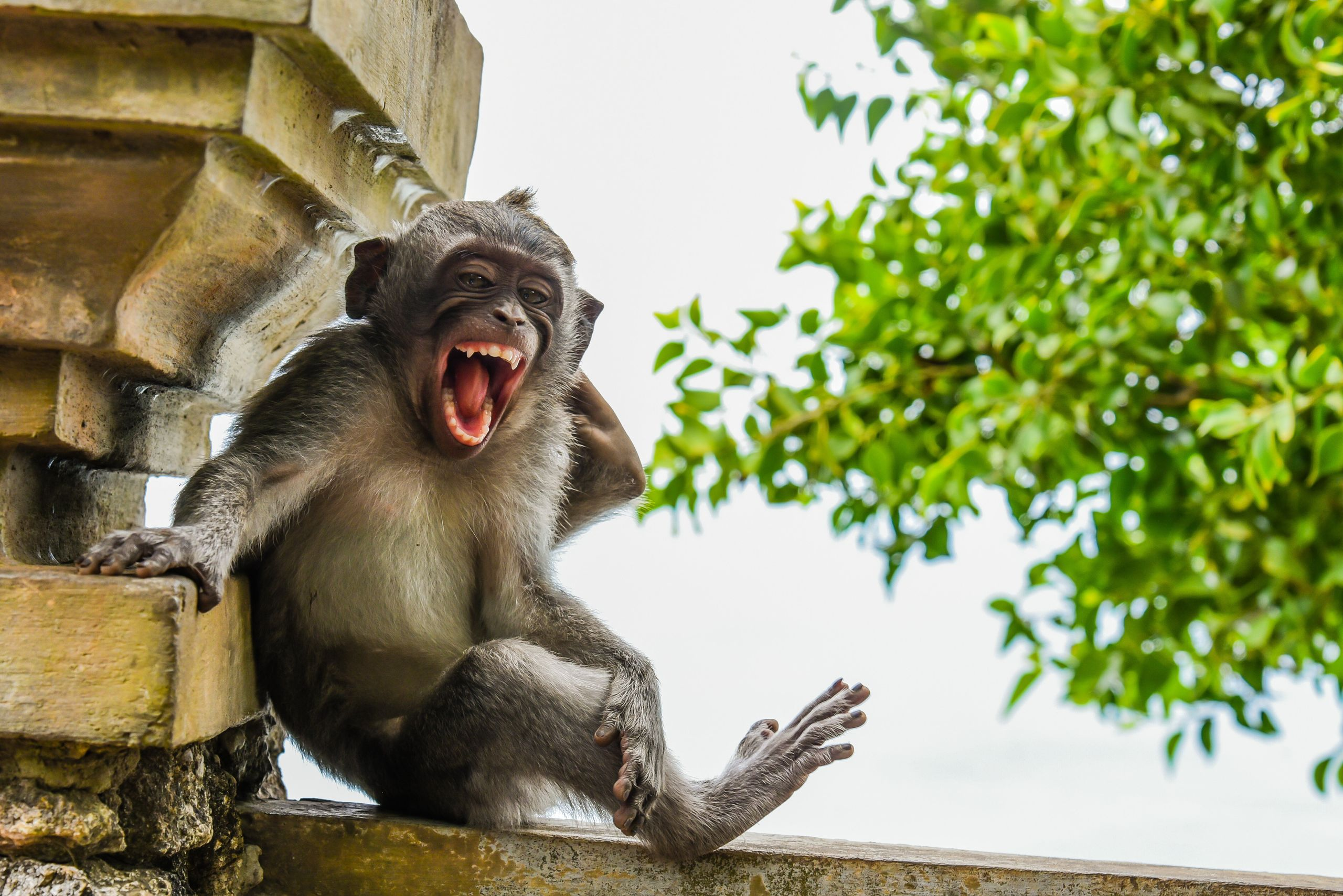 """Macaque Striking a Pose"" features a macaque at Uluwatu Temple in Bali."