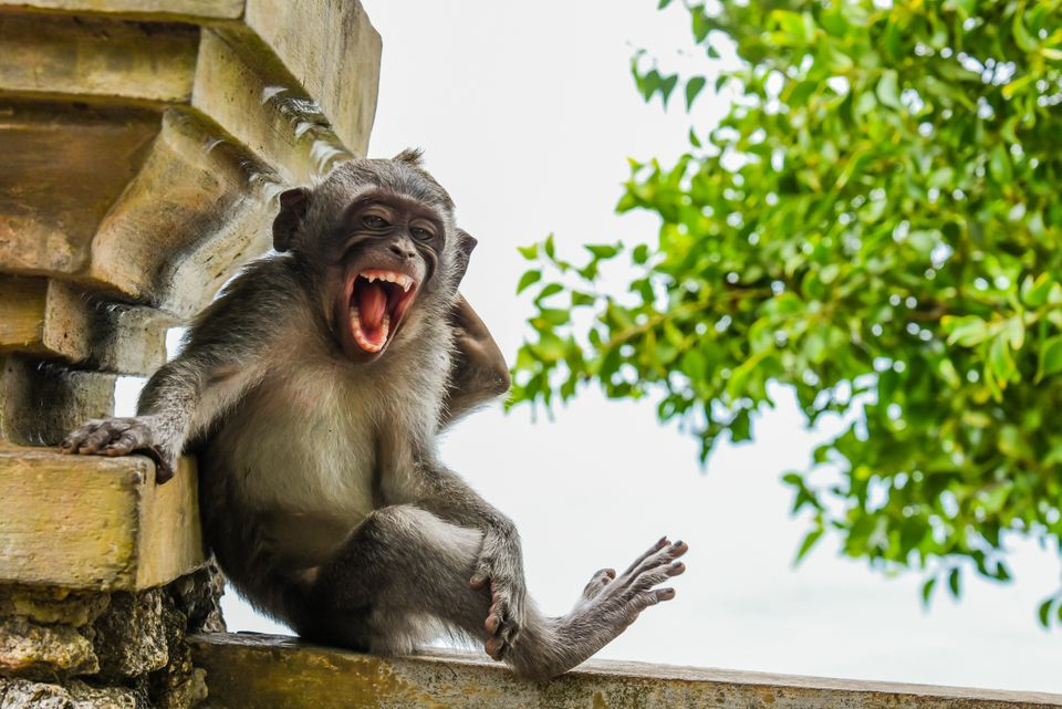 제목 : 포즈를 취하고 있는 마카크 (Macaque Striking a Pose) / 발리 울루와뚜 사원,아프리카·아시아산