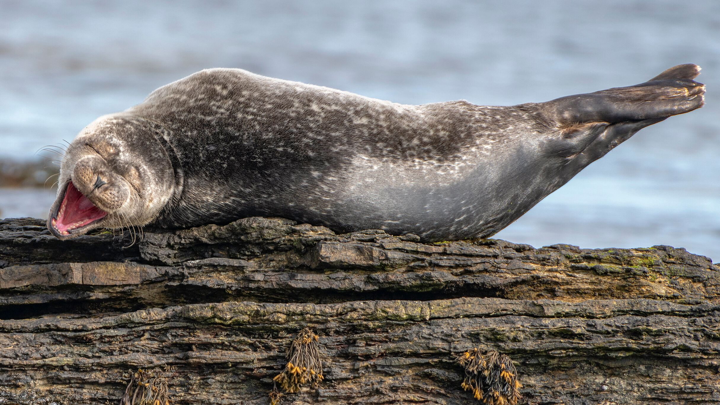 "This photo, titled ""Having a Laugh,"" features a common seal in Caithness, Scotland."