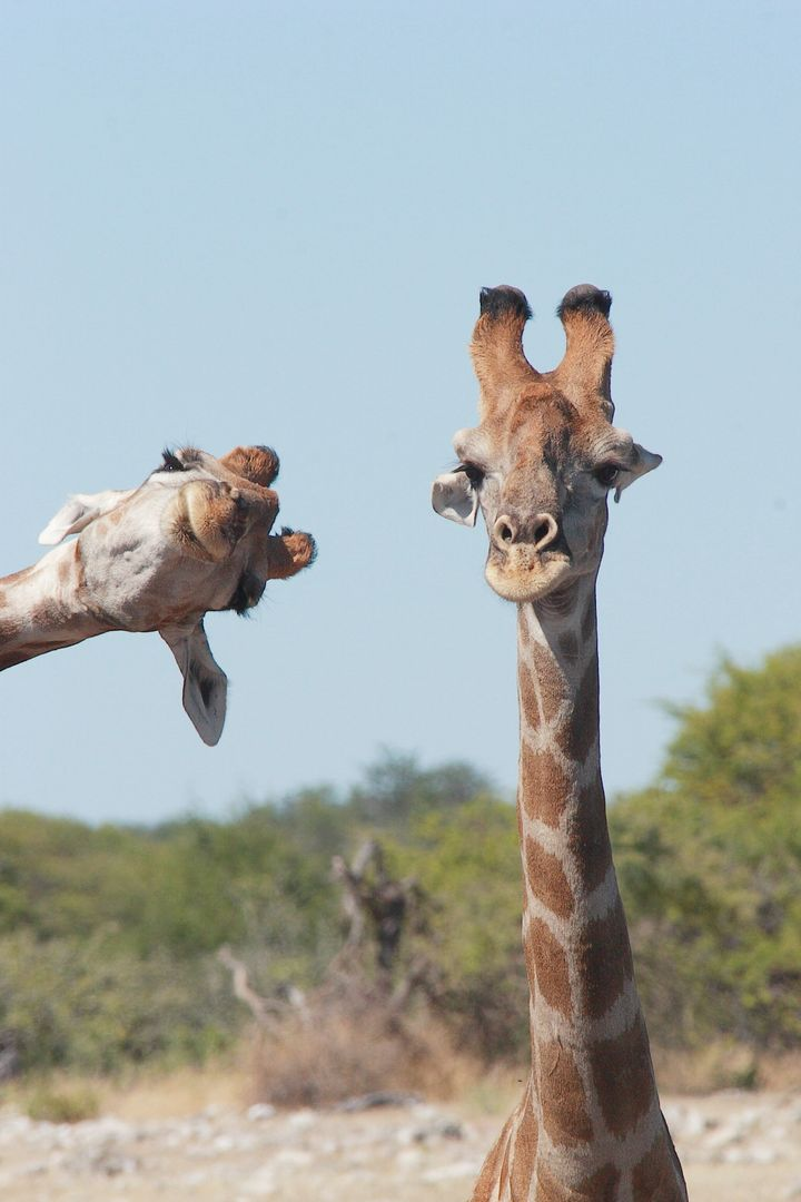 """""""Crashing into the Picture"""" shows a couple of giraffes in Etosha National Park, Namibia."""