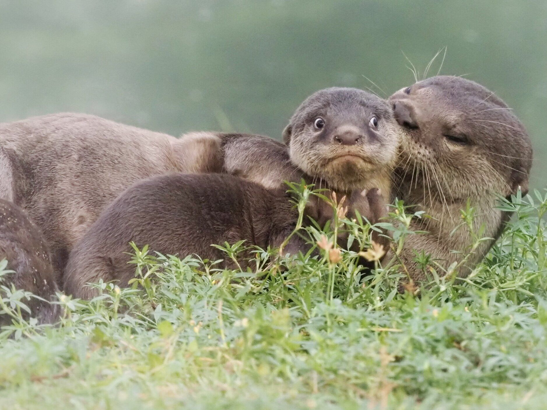 """It's the Last Day of School Holidays"" is an image of smooth-coated otters in Singapore."