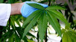 Incorporação do 1º produto a base de Cannabis ao SUS deve ocorrer em