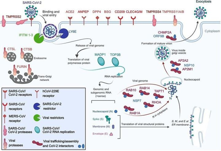 연구진이 감염 위험 분석에 사용한 코로나19 및 코로나바이러스 관련 세포 수용체와 관련 인자들.